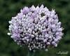 Allium ampeloprasum (best at larger sizes)