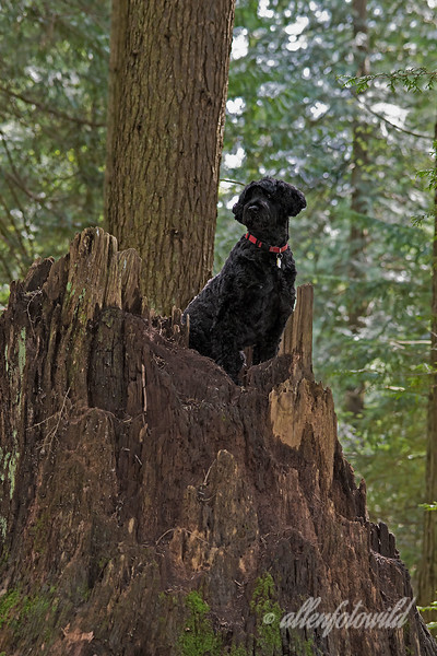 Portuguese water dog enjoying 'deep woods agility-1, Vancouver