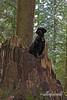 Portuguese water dog enjoying 'deep woods agility-1, Vancouver