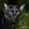 Christmas portrait, oriental cat<br /> <br /> She looks like a panther in this photo, with her green-gold eyes