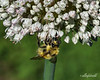 """Beautiful Bumble Bee Buzzing Busily By a Blossom<br /> <br /> Before I left for Hawaii, I went into my garden for inspiration for 'B' day.  I was going to post the brocolli shot (see here: <a href=""""http://goo.gl/HVf6T"""">http://goo.gl/HVf6T</a> ) but then saw the bumble bees on the allium blossom and knew that this would be a more interesting 'B' image."""