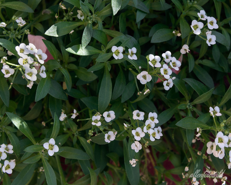 Alyssum from my garden (best at larger sizes)