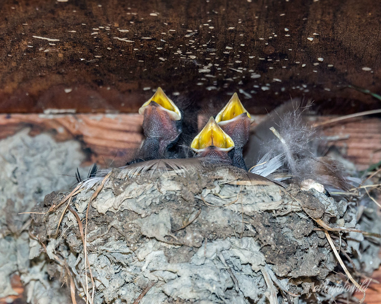 Baby barn swallows singing 'Oh Canada' (the French version).