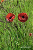 Poppies and grasses in a wildflower meadow