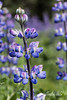 """'L' is for Lovely Lupines (better at larger sizes)<br /> <br /> This photo is not from my garden, but I like it for 'L'.  However, my alternate 'L' today IS from my garden, and can be seen here: <a href=""""http://goo.gl/A9cLGG"""">http://goo.gl/A9cLGG</a><br /> <br /> 29/09/13  <a href=""""http://www.allenfotowild.com"""">http://www.allenfotowild.com</a>"""