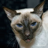 Christmas portrait, chocolate point siamese cat<br /> <br /> This photo shows her beautiful blue eyes to advantage
