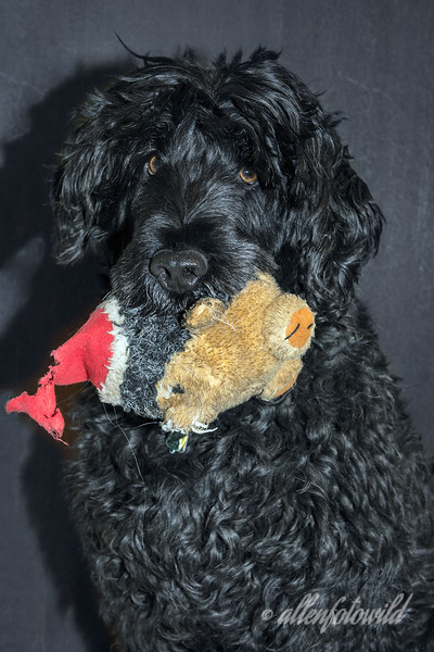 Christmas portrait, Portuguese water dog with his first toy<br /> <br /> The Santa hedgehog was his very first toy when he was a puppy at Christmas 6 years ago.  Although it is a little the worse for wear (well, looking quite moth-eaten, actually) it still has its squeak and hasn't yet been disembowled