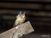 Female barn swallow<br /> <br /> Both the male and female take turns sitting on this board under the deck near the nest.