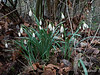 Snowdrops and last fall's leaves.<br /> <br /> Some of leaves have decayed to the point that they are just lace (best seen at high magnifications)