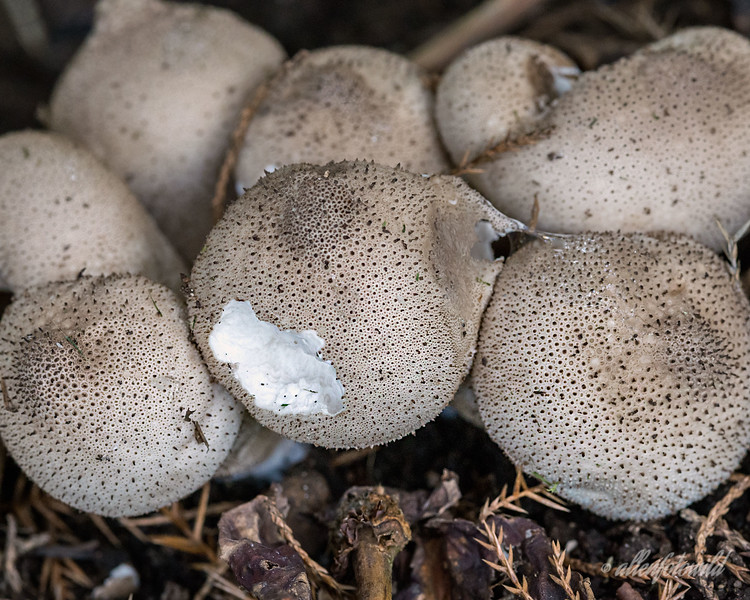 Alternate 'M' is for mushrooms munched by mole<br /> <br /> I noticed these puffball mushrooms lurking under a bush when I return from my trip today.  A mole or a slug appears have been dining on one of them.