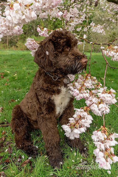 Portuguese water dog in the cherry blossoms, Vancouver, BC