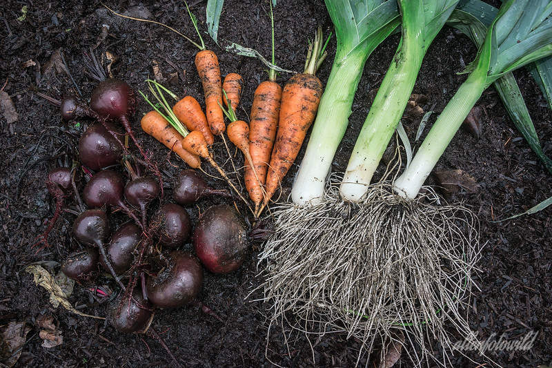 """'Y' is for yummy, year-end, yuletide vegetables!<br /> <br /> Our recent snow was gone by the next day, giving me the opportunity to go out yesterday afternoon and dig some beets, carrots and leeks out of the garden. I rinsed some of the soil off them with the hose to bring out the fresh colour, laid them on one of the  raised beds and took a photo.  In Vancouver, with our Mediterranean climate, root vegetables will over winter in the ground. The leeks, together with some potatoes I dug earlier in the season, will make a nice potato and leek soup.  The beets can be used to make a nice borscht or some pickled beets, while the carrots could be part of a nice scotch broth with barley.  So now, there is only 'Z'.  I have an idea, but you'll have to wait until next Saturday (1 day early, since I'll be on an airplane).<br /> <br /> 29/12/13  <a href=""""http://www.allenfotowild.com"""">http://www.allenfotowild.com</a>"""