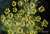'D' is for Dill flowers from my garden, Vancouver, BC