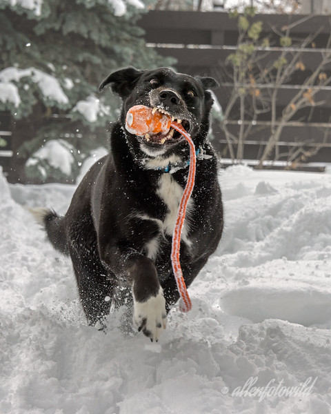 Buckley-turns-six-today-1<br /> <br /> Buckley is a border collie/labrador cross, who has been best friends with my dog since they were both puppies.  She loves to play in the snow and to fetch her kong. Today is Buckley's 6th birthday, and I took 6 portraits of her in the snow to celebrate her birthday