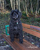 Portuguese water dog portrait