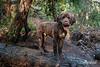 Portuguese Water Dog enjoying deep woods agility  Vancouver, BC