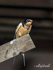 Male barn swallow.  <br /> <br /> He can be distinguished from the female by the brighter orange of his breast feather.