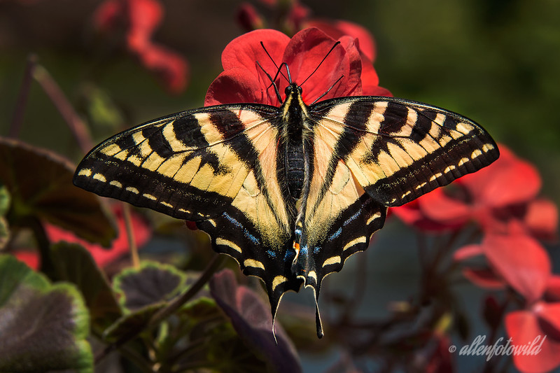 'Bonus' post (best larger)<br /> <br /> Canadian Tiger Swallowtail, Papillo canadensis, Vancouver, BC.  I don't often post butterfly pics, but this guy was keeping me company as I dead-headed the geraniums out on the back deck this afternoon, so I grabbed my camera and saved him for posterity. Notice that both antennas and his tongue are clear in this image.