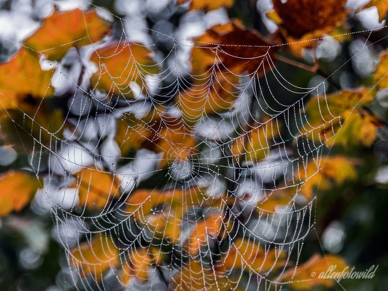 Fall leaves and spider web #2, Vancouver, BC
