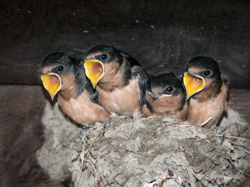 """We want more food!<br /> <br /> Update on the young barn swallows: These babies are working their parents into an early grave with their constant demands to be feed.  I think they don't want to fly off on their own since they have it so good lazing around the nest while their parents feed them.  Kind of like some human kids, LOL.  I think the smaller one with its mouth shut is the only male, who doesn't seem to compete well with his larger, more demanding big sisters....sound familiar to some of you?<br /> <br /> Re Donna's comment; the males have a slighly darker orange breast, just barely visible in this photo.<br /> <br /> Other new photos of the nestlings can be seen here: <a href=""""http://goo.gl/TjntJ"""">http://goo.gl/TjntJ</a>"""