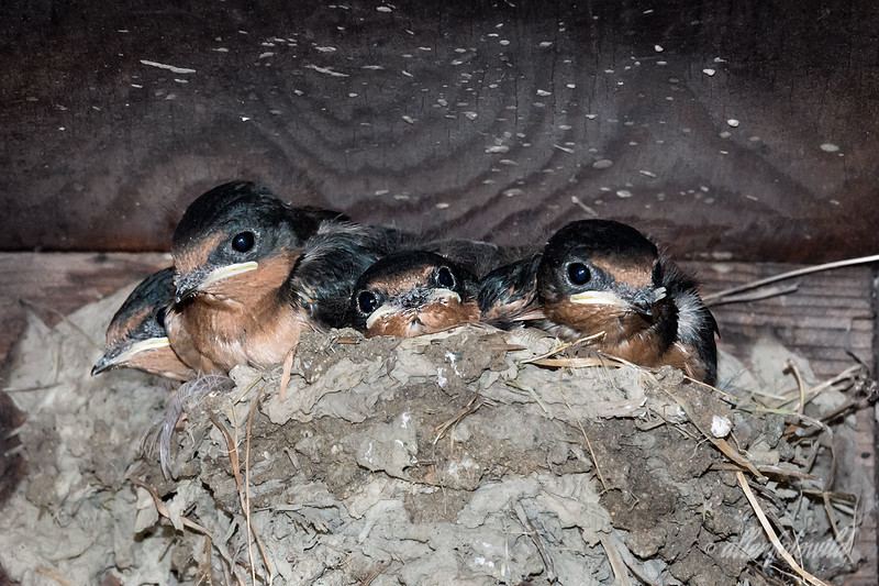 Baby barn swallows outgrowing their nest.<br /> <br /> I think the babies will be leaving the nest soon now.  It is a tiny nest and they are really crowded in and piled on top of each other.  The mom and dad are still dillgently feeding them, but seem a little tired and sometimes just stand around resting.