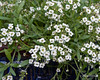 Allyssum (best at larger sizes)