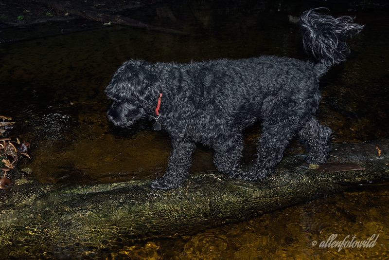 Portuguese-water-dog-walking-across-stream-on-underwater-log<br /> <br /> Tikko enjoys his 'deep woods agility' walks in the early morning, and when the log he uses to walk across the stream was flooded in the recent heavy rains, he took it right in stride - best seen in large view