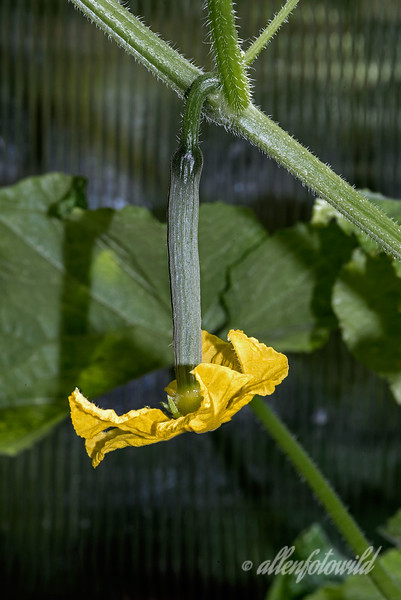 """'C' Day. Cool as a cucumber -1<br /> <br /> This is a baby English cucumber that is growing up in my organic greenhouse<br /> <br /> See here for another shot of another baby Cucumber, and for a Cauliflower and Carrots in the ground, all growing in the garden: <a href=""""http://goo.gl/U3m9Dy"""">http://goo.gl/U3m9Dy</a>.  So far I haven't had to leave the garden for my alphabet posts, but don't know how long I can keep it up LOL."""