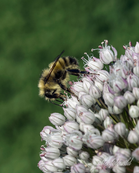 Another shot of a bumble bee on the allium.