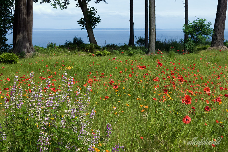 Wildflower meadow with poppies and lupines.  Mount Baker is on the horizon, but is covered with clouds in this shot.