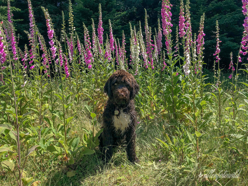 Posing with foxgloves