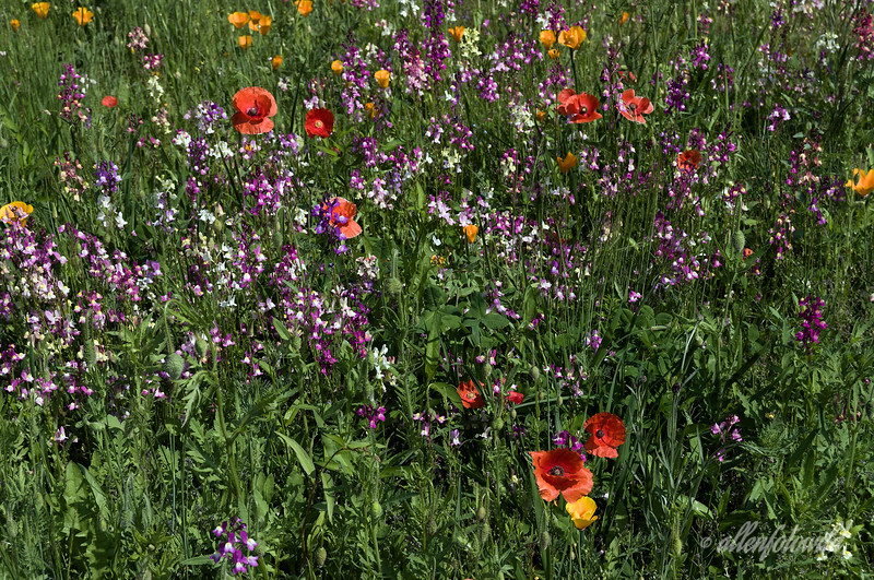 Icelandic and California poppies with linaria in a wildflower meadow