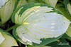 """H"" is for hosta<br /> <br /> I've been having problems finding examples of H, I, J, etc in my garden.  But then I found my hosta plant which is a little the worse for wear after surviving insects and a recent torrential rain.   So here it is, lit by the dappled light from my dogwood tree, warts and all, but it is a realistic, if not beautiful ""H"".<br /> <br /> But that's not the end of the story, since I looked over at my next door neighbours yard and saw some colourful pink hostas that looked quite perfect, so I went next door and photographed them.  The joke was on me, since, when I looked at an enlarged version of the beautiful photo I took of the pink hosta, it turned out to be a fake hosta, made of some kind of cloth, LOL!  You can see it here: <a href=""http://goo.gl/OtRAiA"">http://goo.gl/OtRAiA</a>"