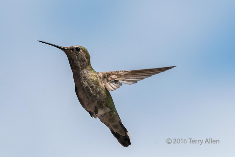 Female-Anna's-hummingbird,-Vancouver,-BC