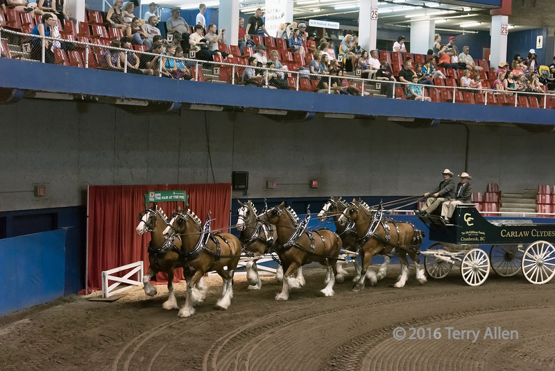 Gorgeous matched team of Clydesdale draft horses, Pacific National Exibition, Vancouver, BC