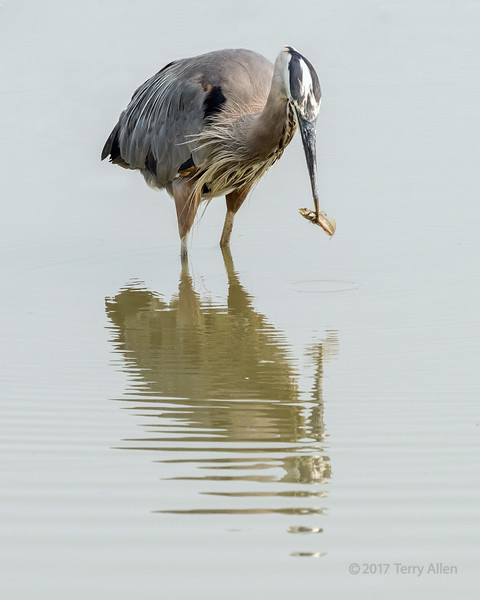 Ruined day, Great blue heron hold fish with open mouth, Reifel Bird Sanctuary, Westham Island, British Columbia