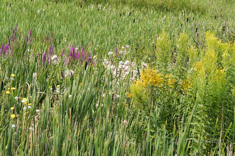 Marshland wildflowers, Reifel Bird Sanctuary, Westham Island, British Columbia