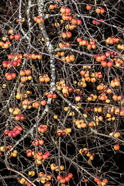 Winter crab apples, vertical, Delta Dykes, Ladner, British Columbia