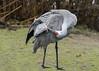 Sandhill-crane-grooming-its-feathers,-Reifel-Migratory-Bird-Sanctuary,-Deas-Island,-BC