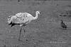 Sandhil crane and mallard duck, Reifel Migratory Bird Sanctuary, Deas Island, BC