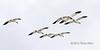 Snow-geese-in-flight,-Deas-Island,-British-Columbia