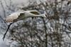 Sand-hill-crane-in-flight,-Reifel-Bird-Sanctuary,-Deas-Island,-British-Columbia