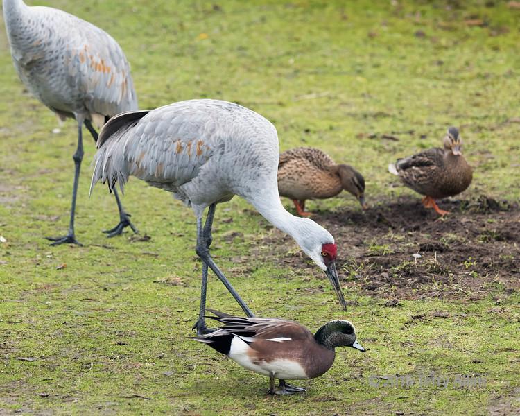 Sandhill-crane-shooing-duck-out-of-its-way,-Reifel-Migratory-Bird-Sanctuary,-Deas-Island,-BC