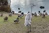 Sandhill-crane-with-mallard-ducks,-Reifel-Migratory-Bird-Sanctuary,-Deas-Island,-British-Columbia