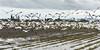 Snow-geese-alarm,-Deas-Island,-British-Columbia