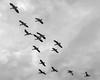 Flock-of-snow-geese-(Chen-caerulescens)-in-flight,-Deas-Island,-British-Columbia