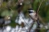 Black-capped-chickadee-(Poecile-atricapillus)-in-a-snowberry-bush,-Reifel-Bird-Sanctuary,-Westham-Island,-British-Columbia