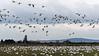 Huge-flock-of-snow-geese-feeding-and-flying,-Deas-Island,-British-Columbia