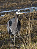 Giant-blue-heron-1