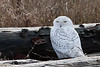 Snowy-owl-2